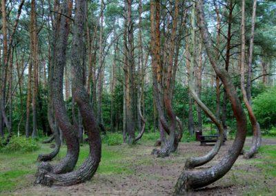 Krzywy-Las---atrakcja-turystyczna-na-granicy-polsko-niemieckiej-pod-Szczecinem