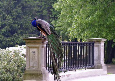 Varsovie- park Lazienki. Spacerując uroczymy alejkami możemy obejrzeć zbliska chodzace na wolności królewski ptaki - pawie.